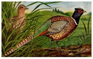 Bird ,  Pheasants