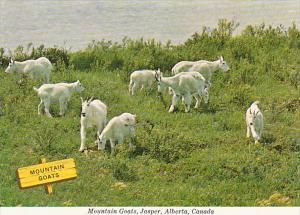 Canada Jasper Mountain Goats