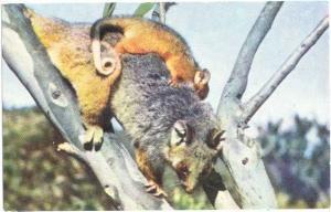 Ring Tailed Possum and Baby, Animal, Chrome