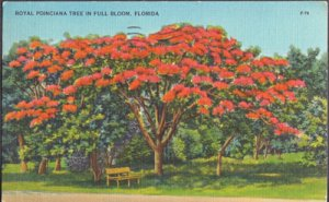 ROYAL POINCIANA tree in full bloom in the Sunshine State, 1930/40s
