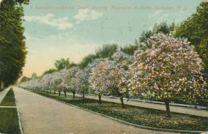 Residential Street (Oxford) with Magnolias in Bloom Rochester NY New York pm1909