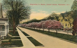 Magnolias in Bloom along Oxford Street - Rochester NY, New York - DB