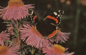 British Butterfly : RED ADMIRAL , 50-60s