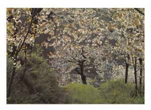 Tree Postcard , Cherry Blossom, Veneto, Italy U4