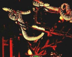 Vtg Chrome Postcard Penang Malaysia Snake Temple Snakes on Display