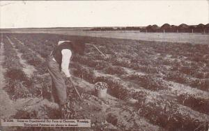 Unirrigated Potatoes at Experimental Dry Farm Cheyenne Wyoming 1912