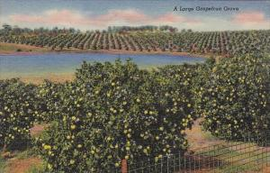 A Large Graprfruit Grove Florida Curteiclh