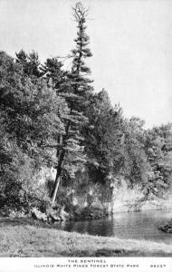 White Pines Forest State Park Illinois~Sentinel Tree~1940s C&W CR Childs #88527
