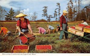 Harvesting Cranberries on Cape Cod, MA, USA Unused