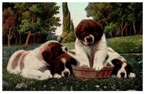 Dog   St.Bernard Puppies