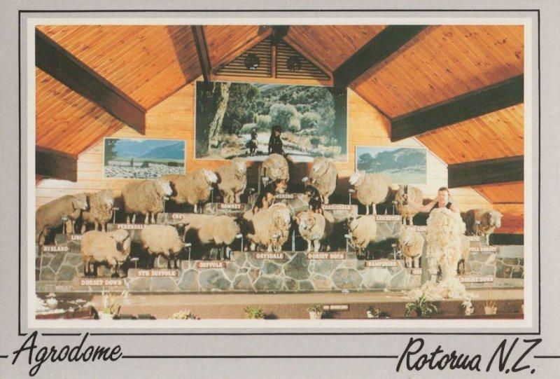 The Agrodome Sheep Rotorua New Zealand Postcard