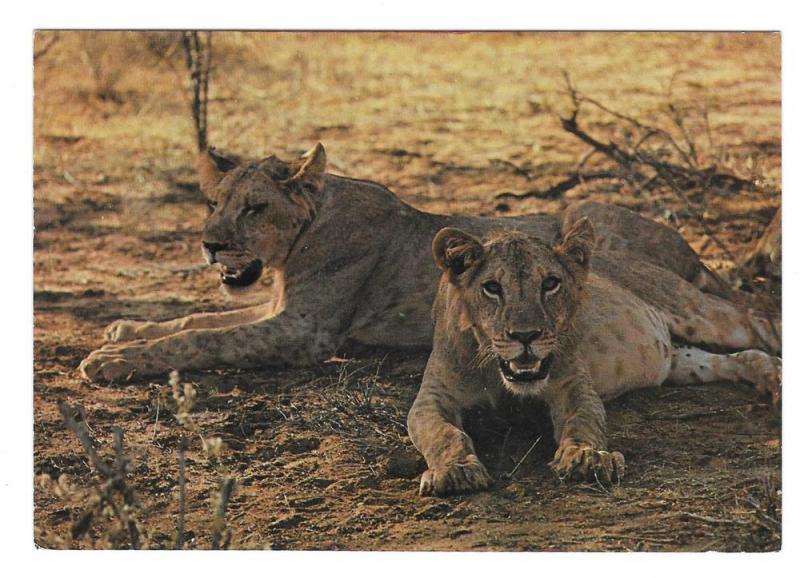 Lions Kenya East Africa Big Cats Vintage Dino Sassi Postcard