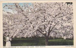 Apple Blossoms in Evangeline Land, Nova Scotia, Canada, 00-10s