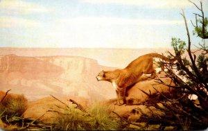 Colorado Denver Museum Of Natural History Mountin Lion