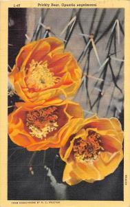 9593 Prickly Pear of Arizona, Opuntia engelmanni