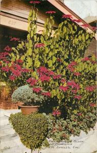 Los Angeles CA~Poinsettias in Bloom~House #837~Porch Steps~Mid Winter~1914 PC
