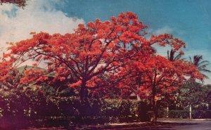 Hawaii, HI, Royal Poinciana Tree, 1948 Chrome Vintage Postcard g8358