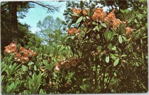 Heritage Plantation of Sandwich Massachusetts Rhododendron Dexter's Apricot