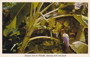 Banana Tree In Florida Showing Bud And Fruit Sarasota Florida