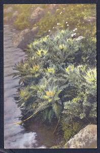 Cirsium spinosissimum unused c1920's