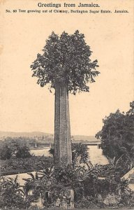 Jamaica, Jamaique Post card Old Vintage Antique Postcard Tree Growing from ol...