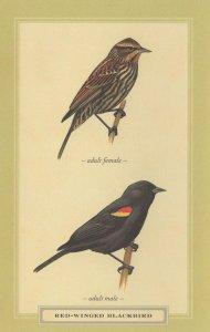 Red Winged Blackbird Adult Male Female Bird Stunning Postcard