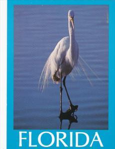 Great White Heron in Florida