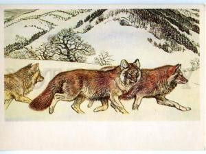 152941 Red List USSR Dhole Cuon alpinus WOLF Old Russian PC
