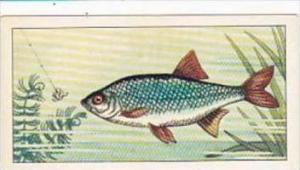 Badshah Tea Trade Card Fish &  Bait No 1 Rudd