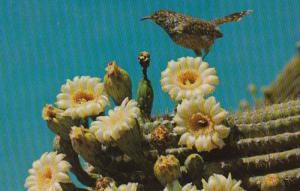 Arizona Birds Cactus Wren and Saguaro Blossoms