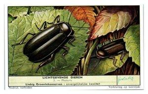 Firefly Beetle Photuris, Luminous Animals Liebig Belgian Trade Card *VT28A
