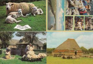 Texel Sheep Farming Holland 4x Postcard s