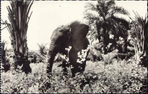 congo brazzaville, ELEPHANT in the Wild (1950s) RPPC