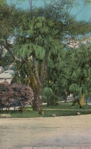 DAYTONA , Florida , 1900-10s ; Three Branched Palm