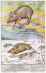 Liebig S1572 Large Mammals No 2 Wild Hog