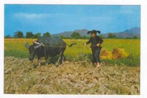 Peasant woman & buffalo, N.T., Hong Kong, China, 50-70s