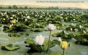 Lily Pond on the Mississippi River