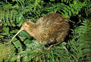 New Zealand The Kiwi Native Flightless Bird