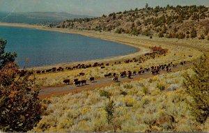 California Lassen County Cattle Along The Shore Of Eagle Lake