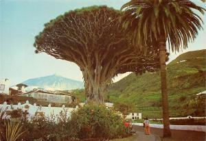 Spain Icod (Tenerife) Drago milenario al fondo el Teide