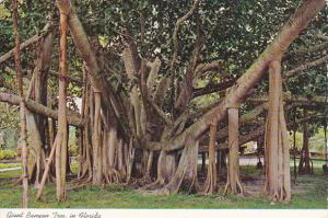 Giant Banyan Tree In Florida
