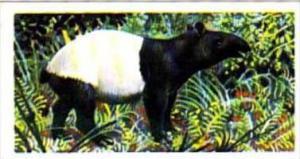 Brooke Bond Trade Card Asian Wildlife No 42 Malay Tapir