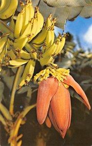 Fruit Assorted Banana Blossom Hawaii, USA Unused