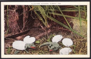 Alligators hatching