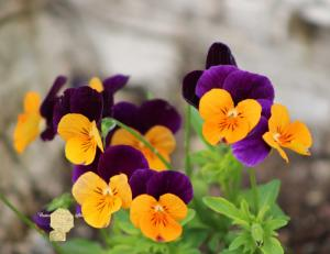 Handmade Postcard Set of 6, Close Up Of Cluster Of Purple And Yellow Pansies