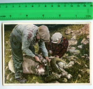 420818 GERMANY humans animals Canada mouflon hunt Tobacco Card w/ ADVERTISING