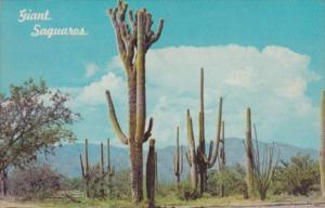 Cactus Giant Saguaro Cactus 1967