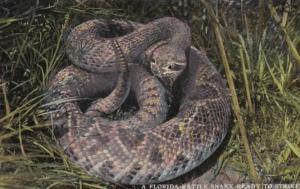 A Florida Rattle Snake Ready To Strike