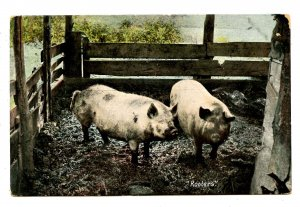 Rooters  (Pigs)