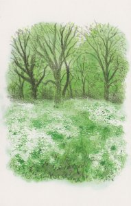Regents Park Cow Parsley in Spring London Painting Postcard